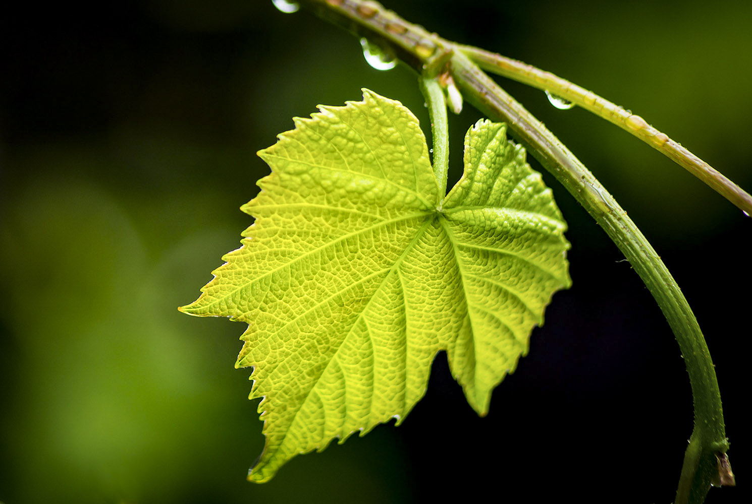 GRAPE-LEAF3