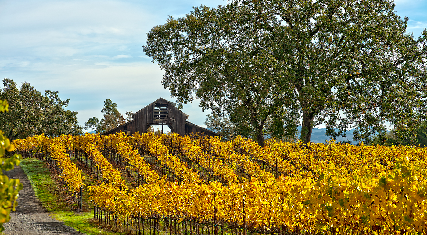 FALL VINEYARDS-SANTA ROSA